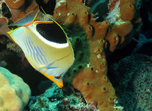Saddled Butterflyfish. (Chaetodon Ephippium), Bunaken, Indonesia Stock Images