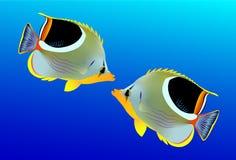 Saddled Butterflyfish Stock Image
