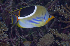 Saddled Butterflyfish Stock Photo