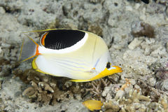 Saddled Butterflyfish Royalty Free Stock Photography