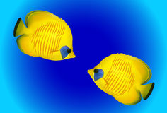 Saddled Butterflyfishes Royalty Free Stock Images