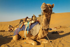Saddled Camel Stock Photo