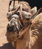 Saddled camel Stock Images