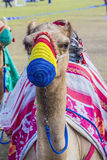 Saddled camel in the colored muzzle Stock Photography