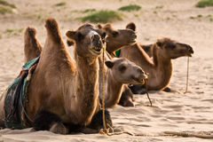 Saddled camels Royalty Free Stock Images