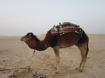 The saddled camels Royalty Free Stock Photography