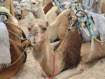 The saddled camels Stock Photo
