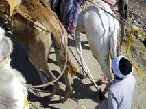 Saddled camels working Royalty Free Stock Image