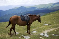 Saddled chestnut horse Stock Image