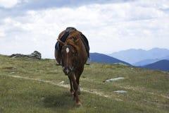 Saddled chestnut horse Stock Photos