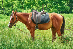 Saddled Chestnut Horse Royalty Free Stock Photos