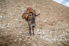 Saddled donkey stands in mountain area, Israel Royalty Free Stock Image