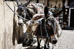Saddled Donkeys Stock Images