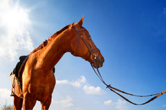 Saddled Horse Royalty Free Stock Images