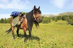 Saddled horse on alpine meadow Stock Image