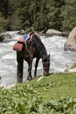 A saddled horse grazes during a break in the valley of Alty-Arashan royalty free stock photos