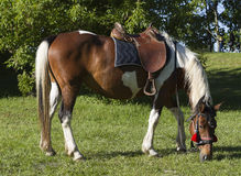 Saddled Horse Nibbling Grass Royalty Free Stock Images
