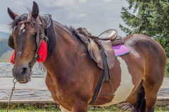 Saddled horse ready for riding Stock Images