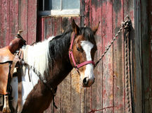 Saddled horse tied to a barn Stock Photography