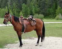Saddled horse with trees in background royalty free stock photos
