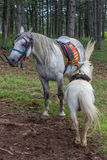 Saddled horses ready for riding Royalty Free Stock Photo