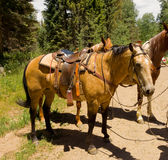 Saddled horses resting during a ride in the rocky mountains Royalty Free Stock Images