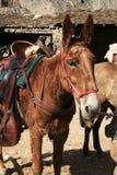 Saddled mule Stock Photography