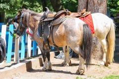 Saddled pony for children riding near fence Stock Photos
