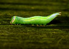 Saddled Prominent Caterpillar. Crawling along a wooden plank stock photo