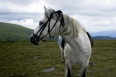 Saddled roan horse. On alpine meadow Royalty Free Stock Photography