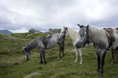 Saddled roan horses. On alpine meadow Stock Photography