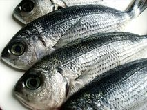 Saddled seabream Stock Photography