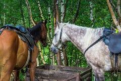 Saddled for trip horses Royalty Free Stock Image