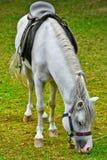 Saddled White Horse Stock Photos