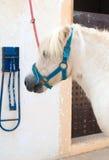 Saddled white pony. Stock Image