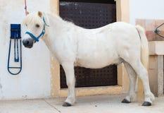 Saddled white pony. Royalty Free Stock Photography