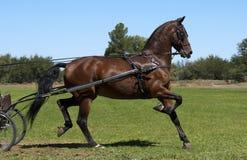 Американский Saddler Стоковое Фото