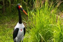 Sadel-fakturerad stork Arkivbild