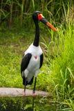 Sadel-fakturerad stork Royaltyfri Foto