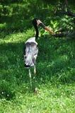 Sadel-fakturerad stork Arkivbilder