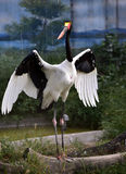 Sadel-fakturerad stork Royaltyfria Bilder