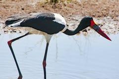 Sadel-fakturerad stork, closeup i Afrika arkivbild