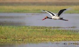 Sadel-fakturerad stork (Ephippiorhynchussenegalensis Royaltyfria Foton