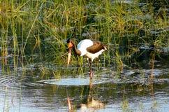 Sadel-fakturerad stork i Pom-Pom Island, Okavango delta, Botswana, Afrika. Arkivfoto