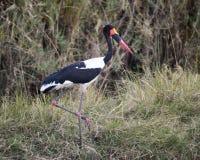 Sadel-fakturerad stork på ett ben Arkivbilder