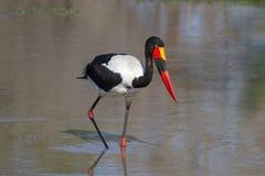 Sadel-fakturerad stork som söker för mat Royaltyfri Fotografi