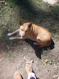 Sadie το χρυσό σκυλί στοκ φωτογραφίες με δικαίωμα ελεύθερης χρήσης