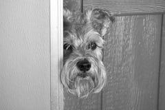 Sadie, de Curiosa Schnauzer Stock Foto