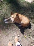 Sadie o cão dourado fotos de stock royalty free