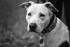 Sadie the Pit Bull. Sadie looks solemnly into the distance pondering life`s meanings. Life is hard Royalty Free Stock Image